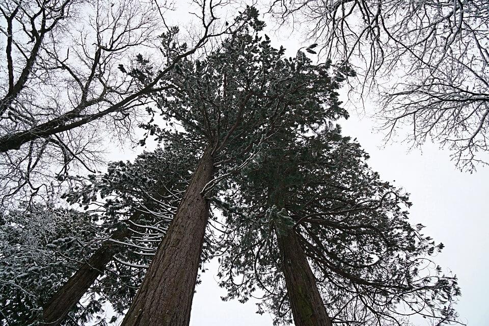Mammutbaum in Wustenrot