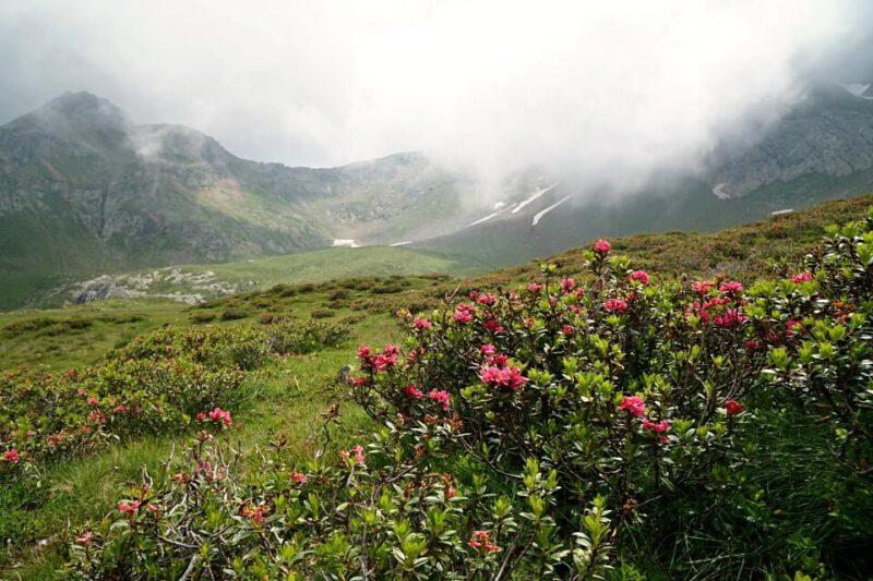 Alpenrosen auf dem Almenweg beim Wandern am Hirzer im Meraner Land